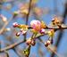 【八芳園】園内を彩る桜の開花情報が届きました!